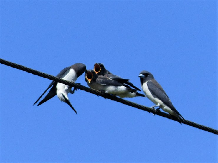 White-breasted woodswallows (Artamus leucorynchus).