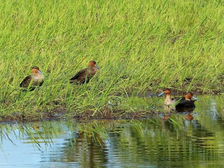 Philippine ducks (Anas luzonica) on Siargao Island.