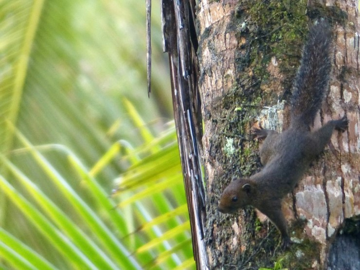 Philippine Pygmy Squirrel (Exilisciurus concinnus) on Siargao Island.