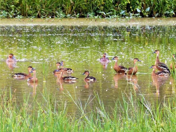 Philippine ducks (Anas luzonica) with Wandering whistling ducks (Dendrocygna arcuata) on Siargao Island.