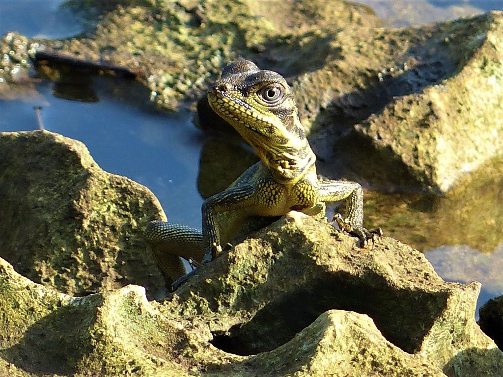 The Philippine Sailfin Lizard (Hydrosaurus pustulatus)