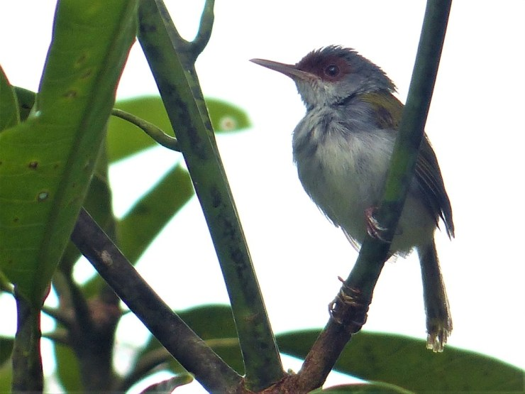 The Rufous-fronted Tailorbird (Orthotomus frontalis)