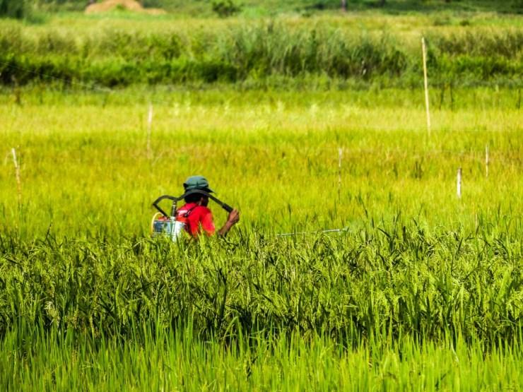 Rice farming. Siargao island, Philippines.