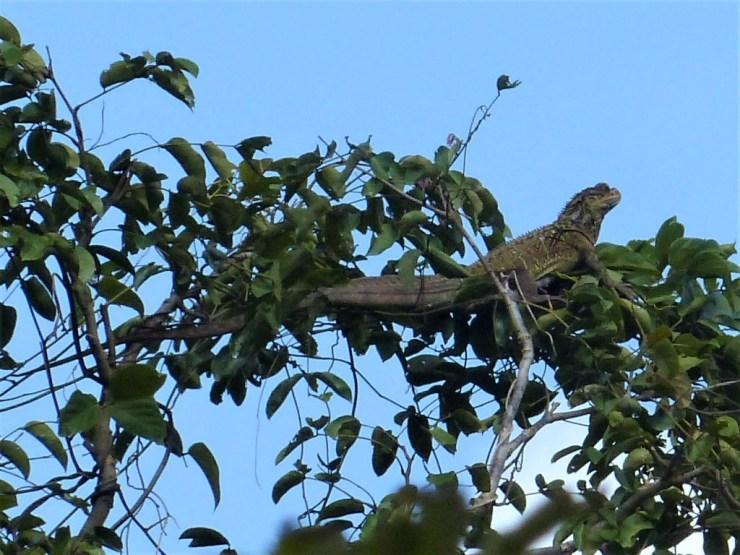 sailfin lizard on siargao island
