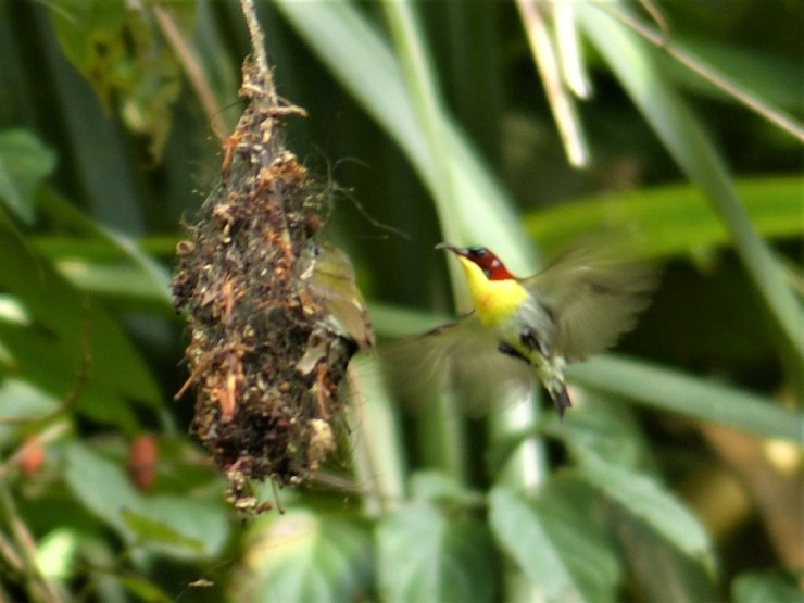 The Handsome Sunbird (Aethopyga bella) on Siargao island.