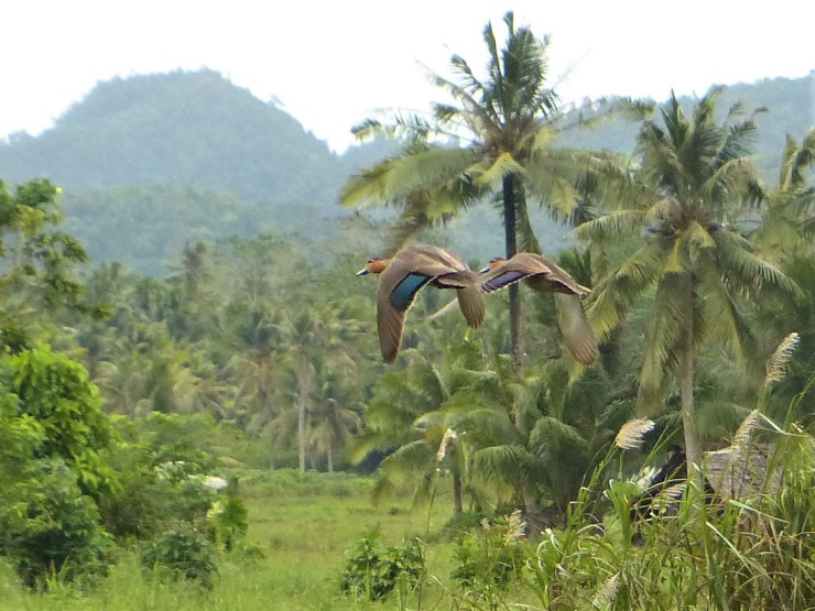 A pair of Philippine Ducks (Anas luzonica) in flight on Siargao island.