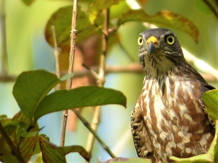 Chinese Sparrowhawk (Accipiter soloensis) on Siargao island, Philippines.