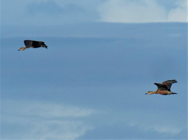 Wandering Whistling Ducks on Siargao, Buhing Kalipay