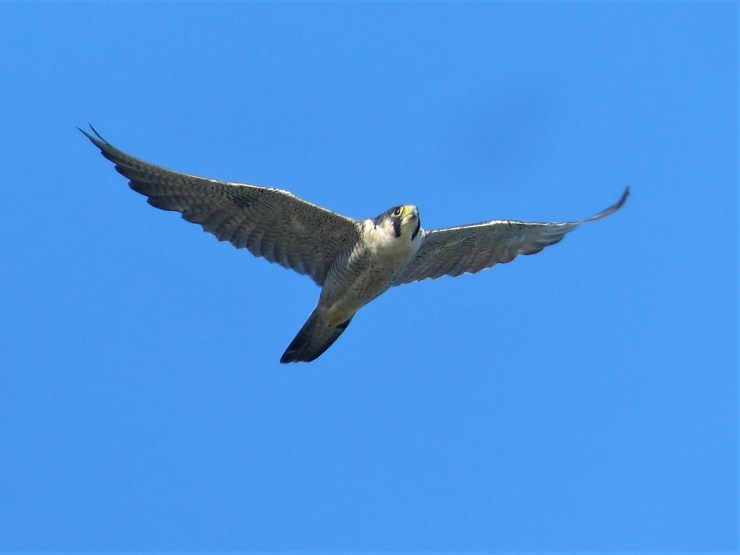 The Peregrine Falcon (Falco peregrinus) in flight on Siargao island, Buhing Kalipay