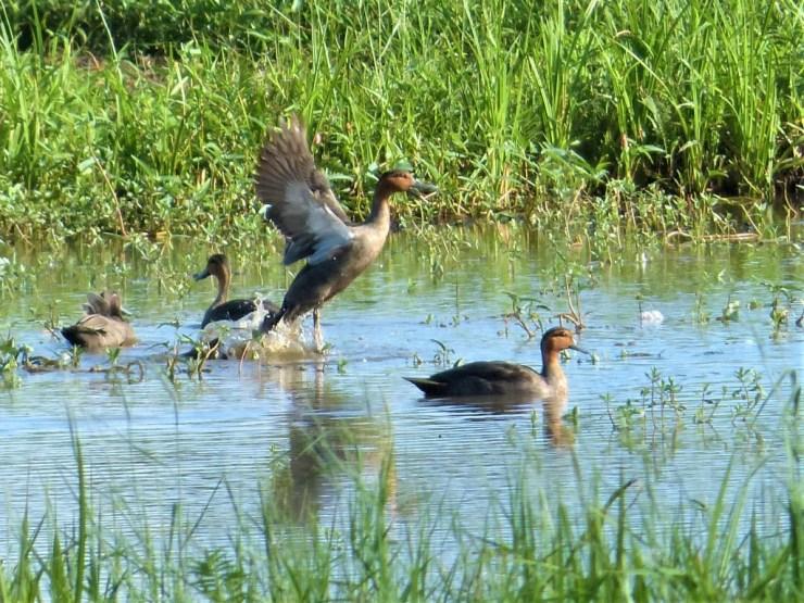 Philippine Ducks on Siargao island, Buhing Kalipay