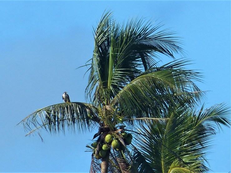 The Peregrine Falcon (Falco peregrinus) on Siargao island, Buhing Kalipay
