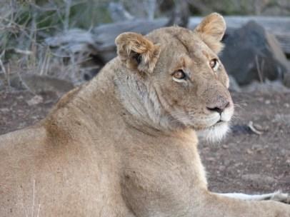 Lion. Kruger NP, South Africa. 29.7.2016 (7)