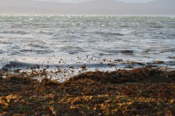 Kelp washed up