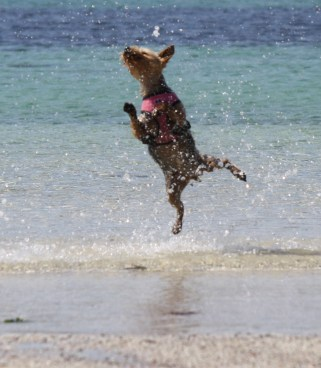 High jinks for Daisy on the beach at Iona