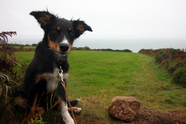 Dog Border Collie Coast