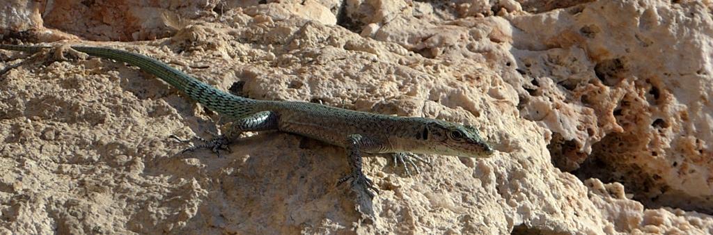 Dubrovnik City Lizard