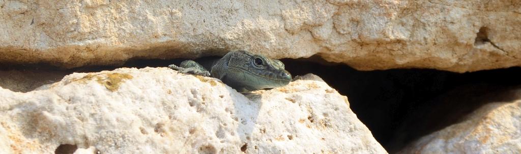 Dubrovnik City Walls Lizard