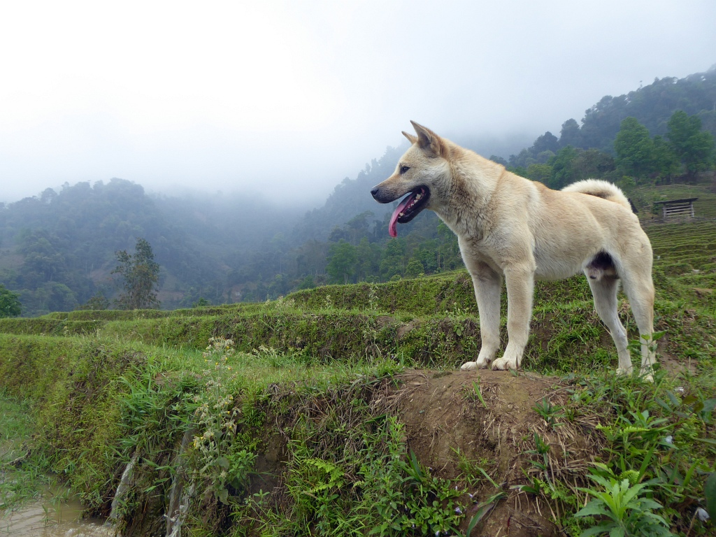 Sapa Mountains Rice Paddy Dog