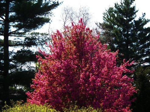 crabapple tree with pines in background