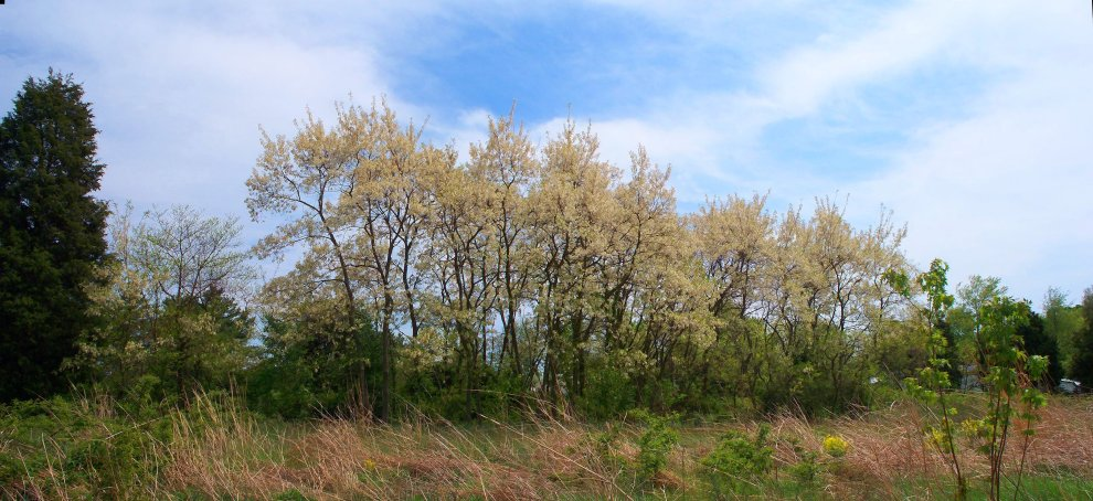 honey locust trees