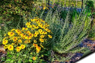 rudbekia and russian sage