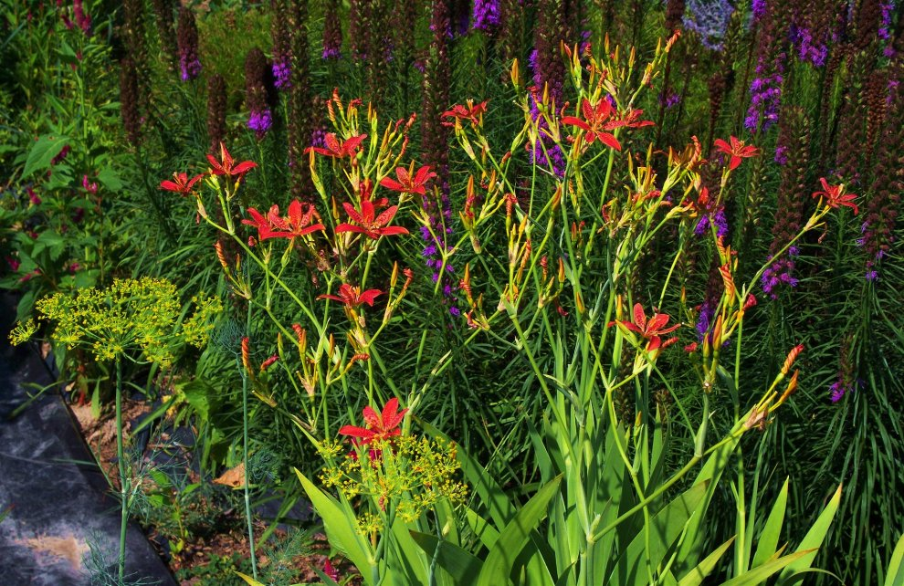 blackberry lily with liatris