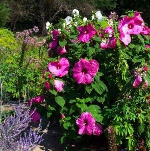 dill, spiderflower, hibiscus