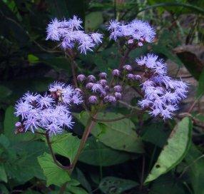 wild blue ageratum