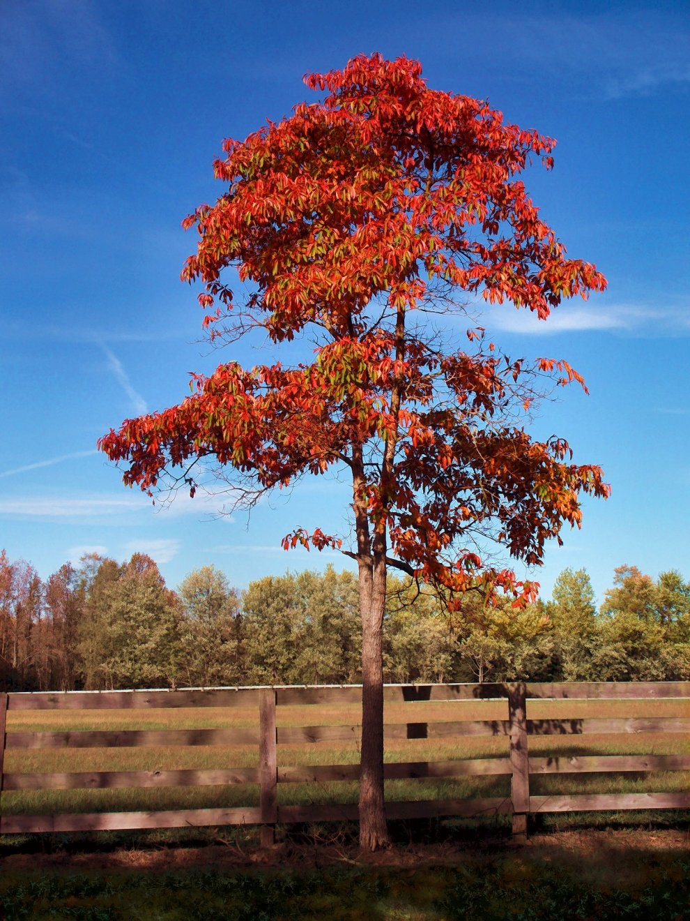 sassafras tree