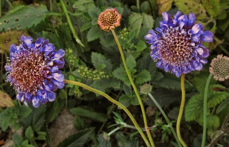 pincushion flower in october