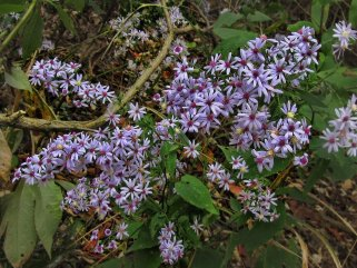 wild light blue asters