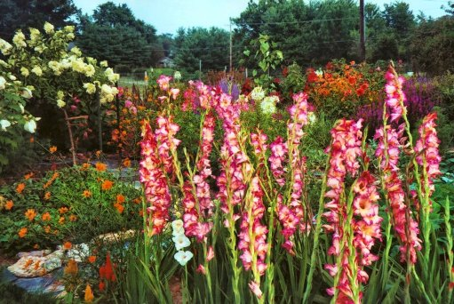 featuring gladiolus and hydrangea in my garden