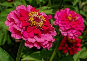 pink-and-red-dualcolor-zinnia