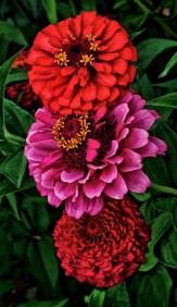 pink-zinn-between-reds