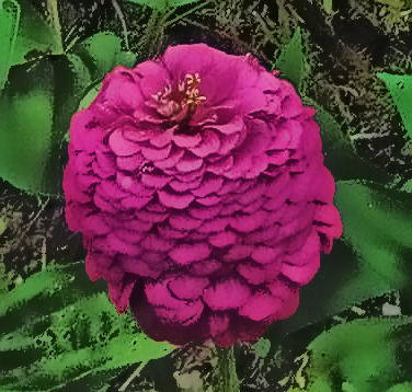 pink-zinnia-4