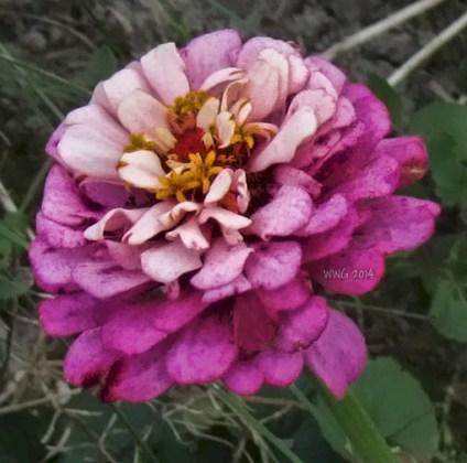 pink-zinnia-5