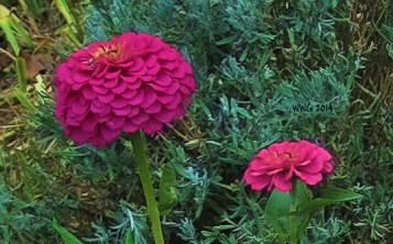 pink-zinnias2