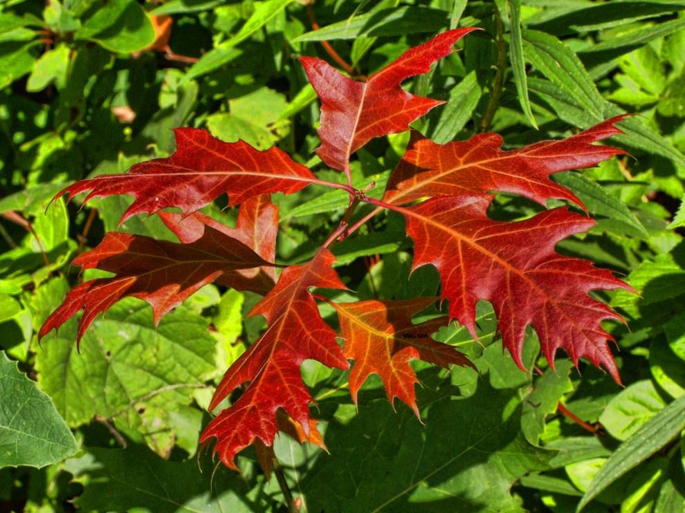 oak-leaves-early-autumn2013