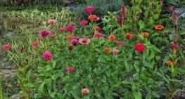 pink-zinnias-various2
