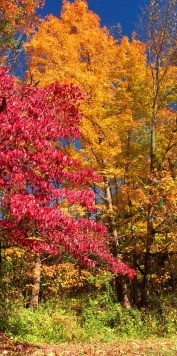 dogwood-and-maple
