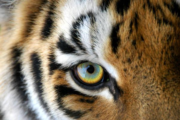 Photo of In the Eye of the Tiger.