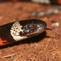 North American Banded Kingsnake