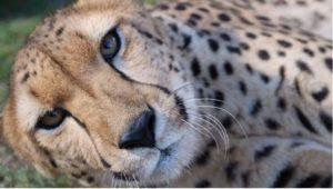Cheetah at Wild Wonders