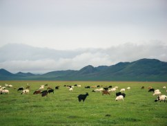Cattle in Mongolia