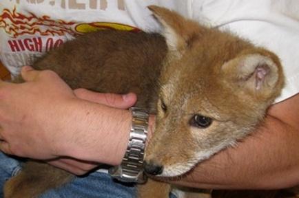 holding-fox