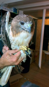 sick Red-tailed Hawk