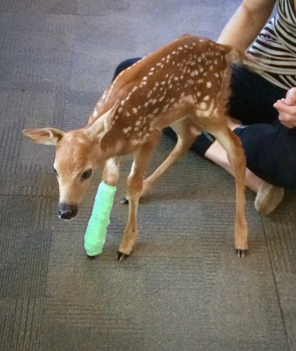 Fawn with a leg splint