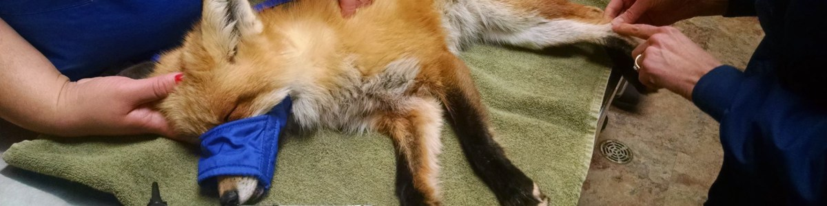 Wildwoods rescues foxes and other wild animals