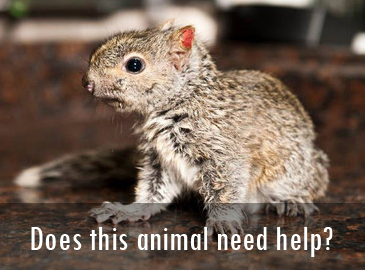 Does this animal need help: Squirrels