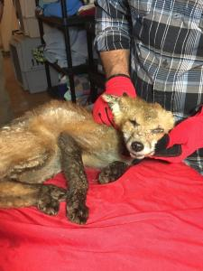 This fox is suffering from a severe case of mange